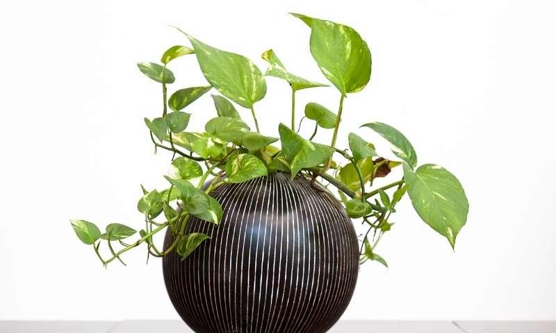 golden-pothos-houseplants-for-beginners