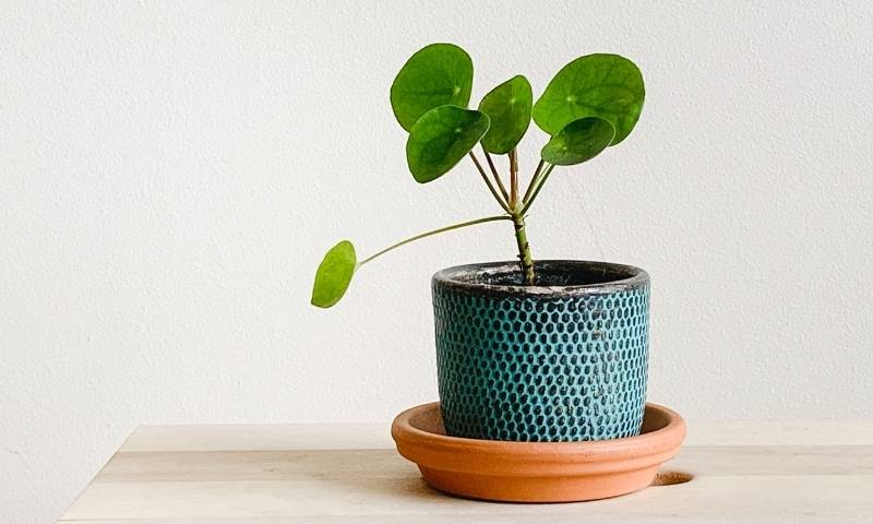 pilea-beginner-houseplants