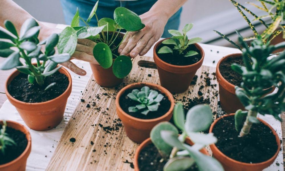 repot-a-houseplant