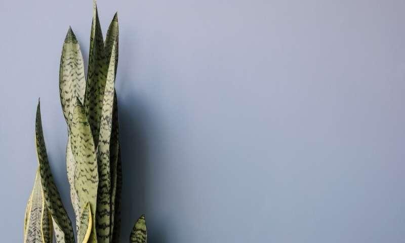 snake-plant-houseplants-for-beginners