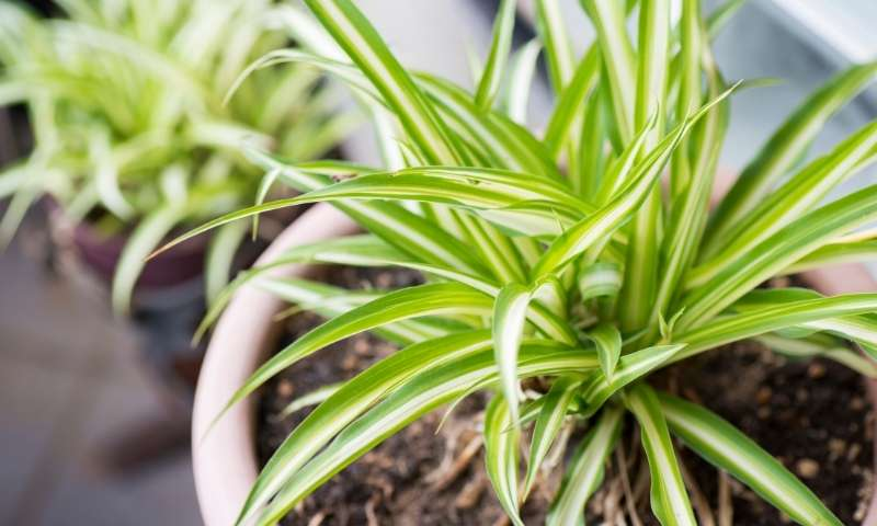spider-plant-houseplants-for-beginners