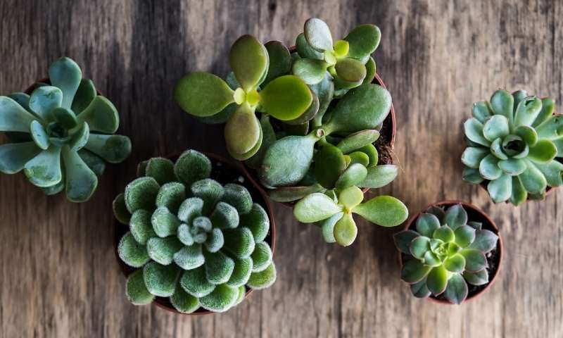 succulents-houseplants-for-beginners